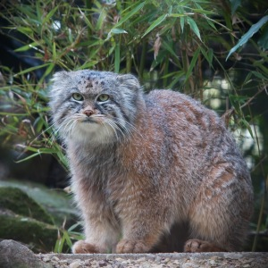 A better fun fact- the Pallas's cat lives in Afghanistan. This is the most awesome cat EVER.